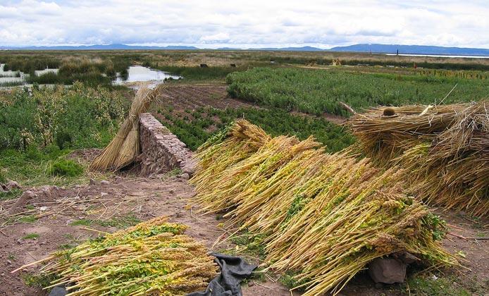 coltivazione quinoa