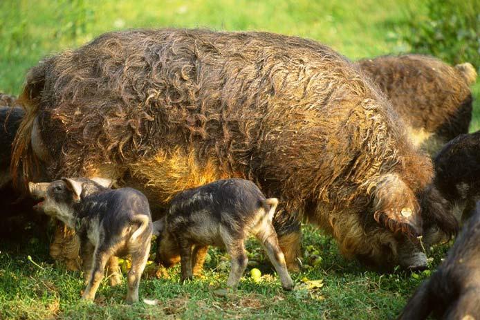 maiali di razza mangalica