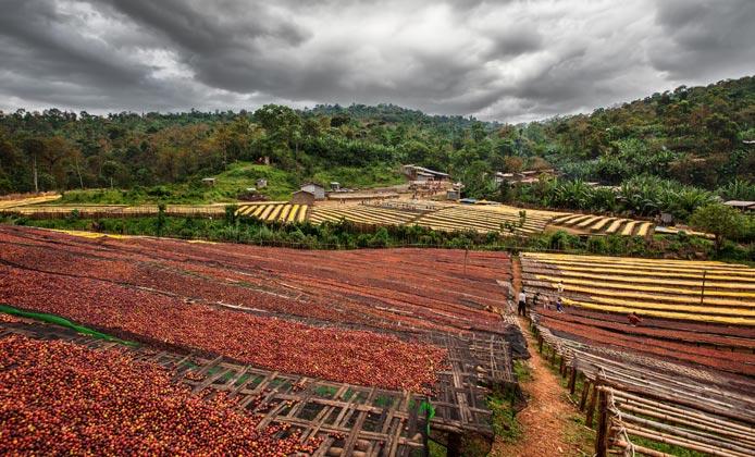 Yirgacheffe piantagione caffè