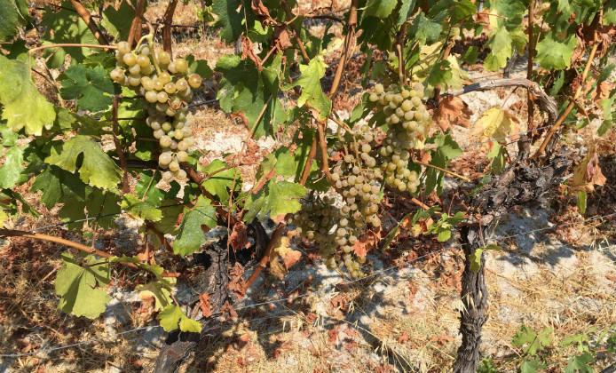 vigne malvasia di bosa columbu