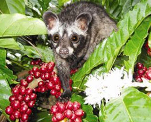 luwak-weasel