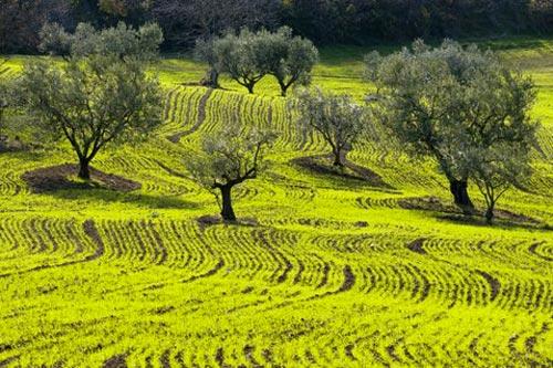 oliveti
